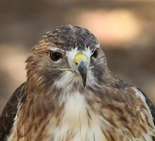 Red Shouldered Hawk by Gregg Williams