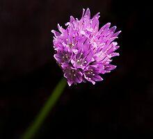 Garlic Chives Flower by Peter Wickham