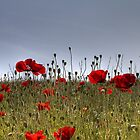 Poppy field by davediver