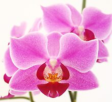 Pink Orchids II by artddicted