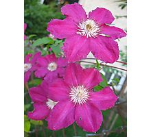 Hot Pink Clematis Photographic Print