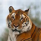 Tiger by TerryPatrick