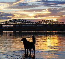 Golden {Retriever} Sunset by Bob Hortman