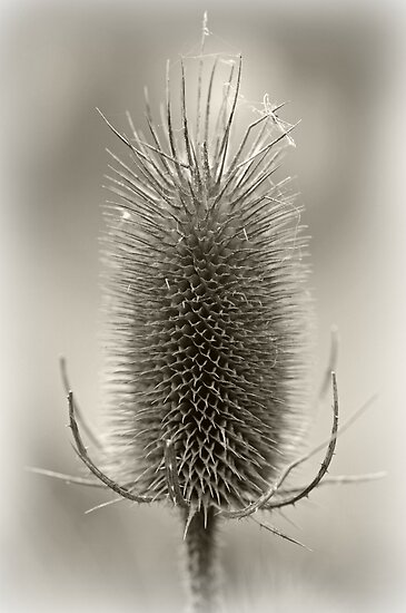 Thistle Head by gmws