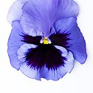Pansy Face by Anne Gilbert