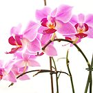 Pink Orchids V by artddicted