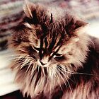 Gray Persian Cat by Sandra Gale
