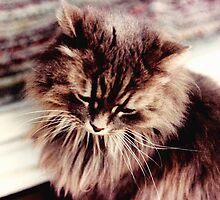 Gray Persian Cat by Sandra Gale