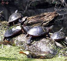 The Sunning Turtles by Sandra Gale