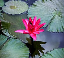 pink water lily  by torishaa