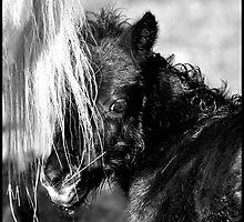 Shetland Pony foal- Fenwick Angelina by fenwickstud