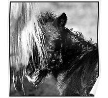 Shetland Pony foal- Fenwick Angelina Poster
