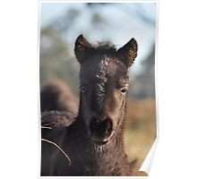 Peekaboo - Shetland pony foal. Poster