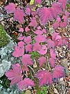 Pink Autumn     Maple-leaf Viburnum by MotherNature