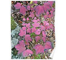 Pink Autumn     Maple-leaf Viburnum Poster