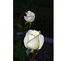 Two white rosebuds Photographic Print