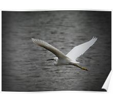 Flying Great Egret  Poster
