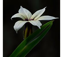 Blue Pigroot Flower Photographic Print