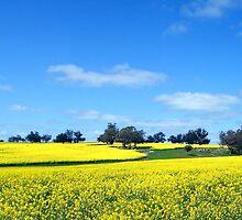 Spring Canola Field - Kojonup, WA by Akrotiri
