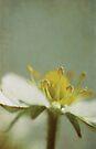 Strawberry flower by Anne Staub
