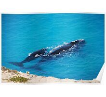 Southern Right Whale and calf Poster