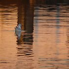 Common Gull by Patrick Noble