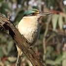Sacred Kingfisher by Rick Playle