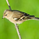 Chaffinch (female) by M.S. Photography/Art