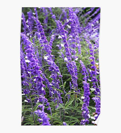 Almost Lavender Poster