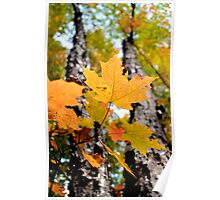 Fall Maple Leaves - Sharbot Lake Ontario Poster