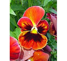 Sunset Pansy Photographic Print