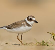 Semipalmated Plover and a Beach Flower. by Daniel Cadieux