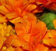 Marigold - Calendula II by vbk70