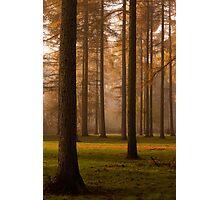 Larch Grove Photographic Print