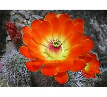 Hedgehog Cactus Flames  Photographic Print