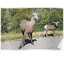 Mountain Sheep Mom and Baby Poster