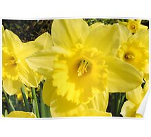 Spring Daffodils.. Poster