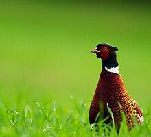 Cock Pheasant by Neil Bygrave (NATURELENS)