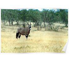 Gemsbok - Oryx gazella - Gemsbuck Poster