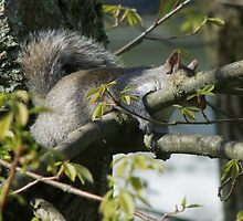 Sleepy Squirrel by Frank Nave
