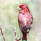 Purple Finch - Designer iPhone 4-4S Case by Renee Dawson