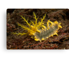 Yellow Sea Cucumber, Si Amil Island, Malaysia Canvas Print