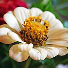 Little White Zinnia by kkphoto1