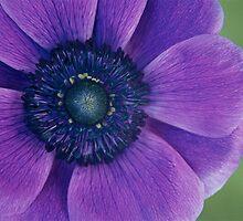 Anemone by Denise McDonald