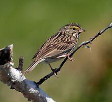 Savannah Sparrow by May-Le Ng