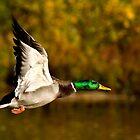 Fall Flight by Jeff Weymier