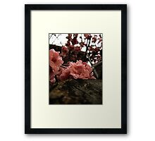 Resting Cherry Blossom Framed Print