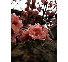 Resting Cherry Blossom Photographic Print
