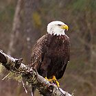 Skagit River Bald Eagle (Medium) iPhone case. by Todd Rollins