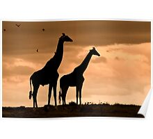 Courting Giraffe Silhouette Poster